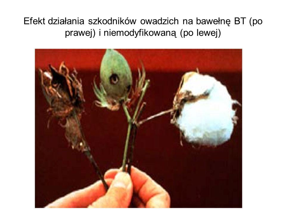 Efekt działania szkodników owadzich na bawełnę BT (po prawej) i niemodyfikowaną (po lewej)