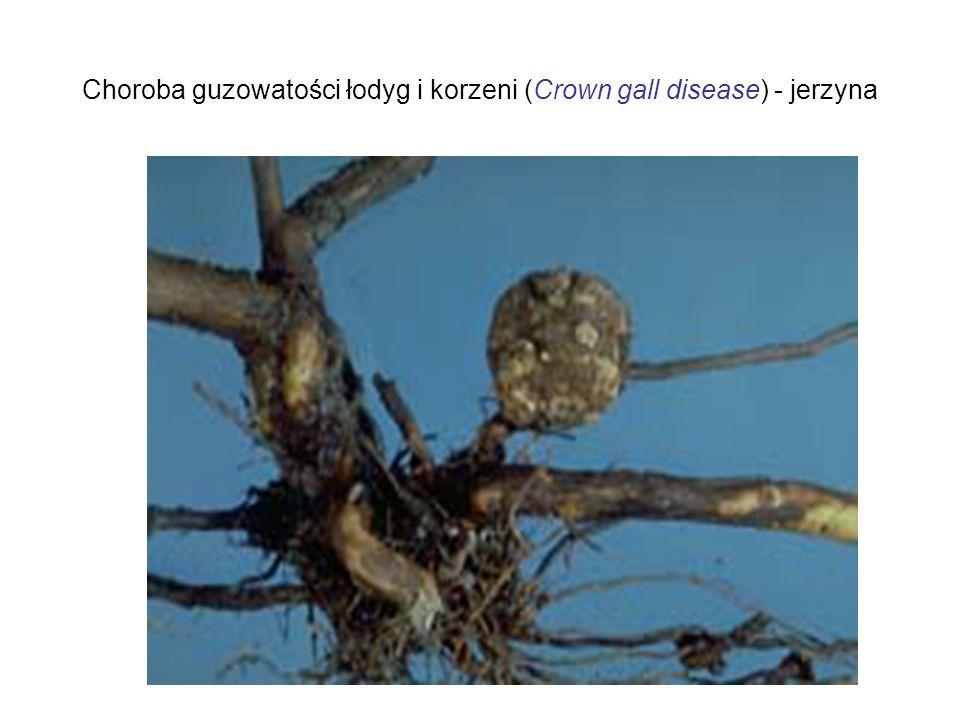 Choroba guzowatości łodyg i korzeni (Crown gall disease) - jerzyna