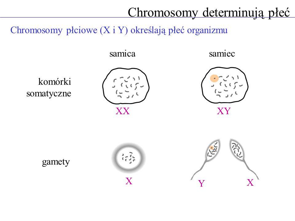 Chromosomy determinują płeć