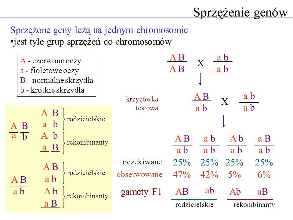 Sprzężenie genów Sprzężone geny leżą na jednym chromosomie