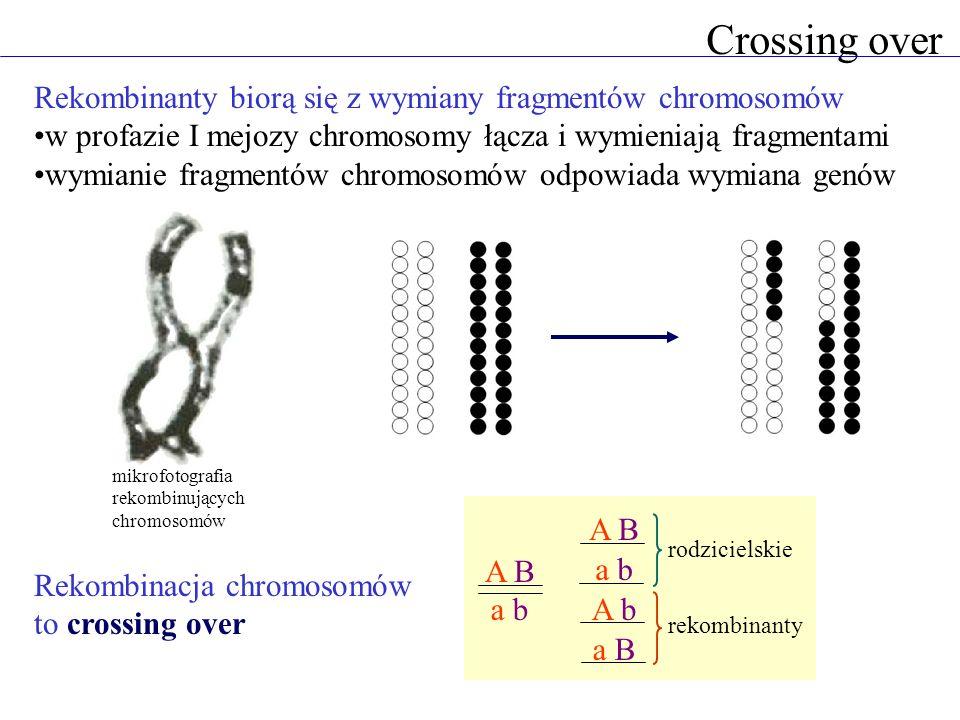 Crossing over Rekombinanty biorą się z wymiany fragmentów chromosomów