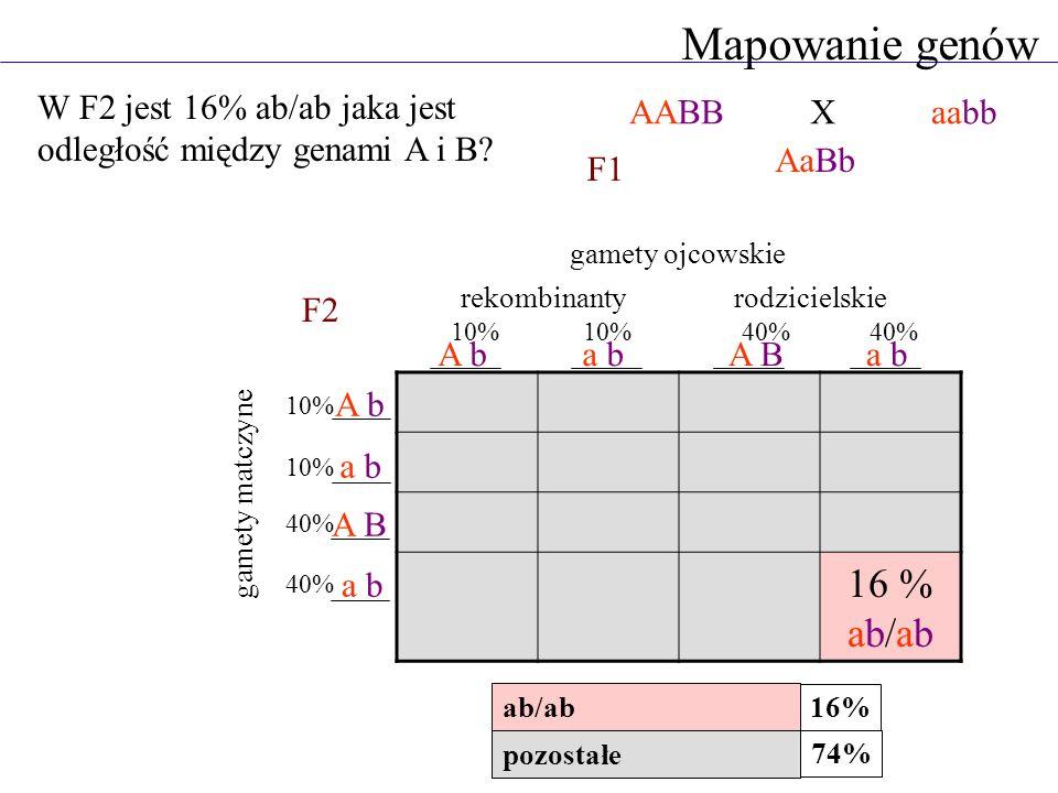 Mapowanie genów 16 % ab/ab