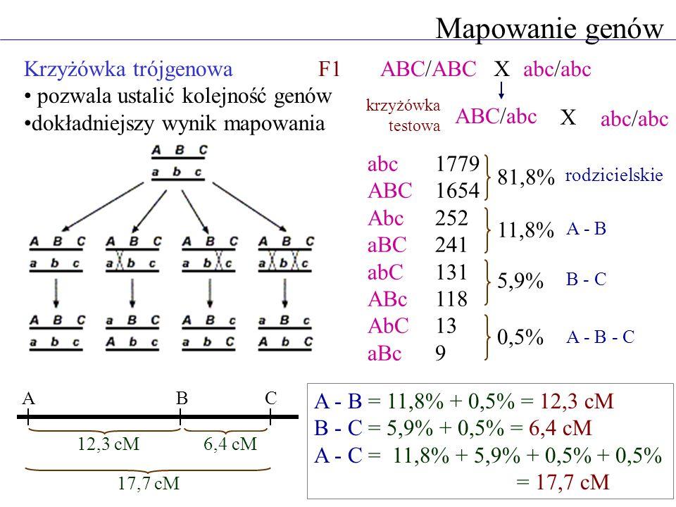 Mapowanie genów Krzyżówka trójgenowa pozwala ustalić kolejność genów