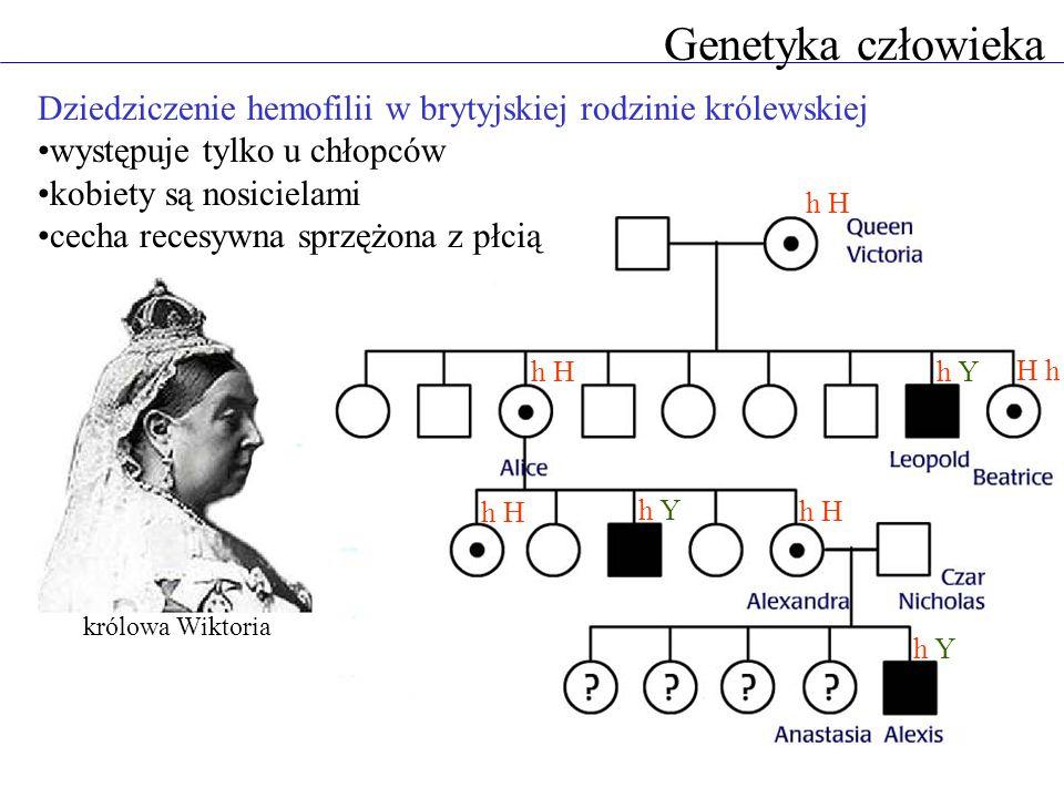 Genetyka człowieka Dziedziczenie hemofilii w brytyjskiej rodzinie królewskiej. występuje tylko u chłopców.