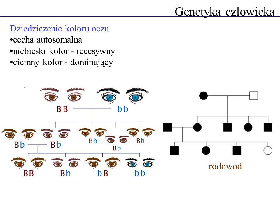 Genetyka człowieka Dziedziczenie koloru oczu cecha autosomalna