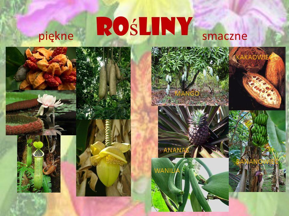 Rośliny piękne smaczne KAKAOWIEC MANGO ANANAS BANANOWIEC WANILIA