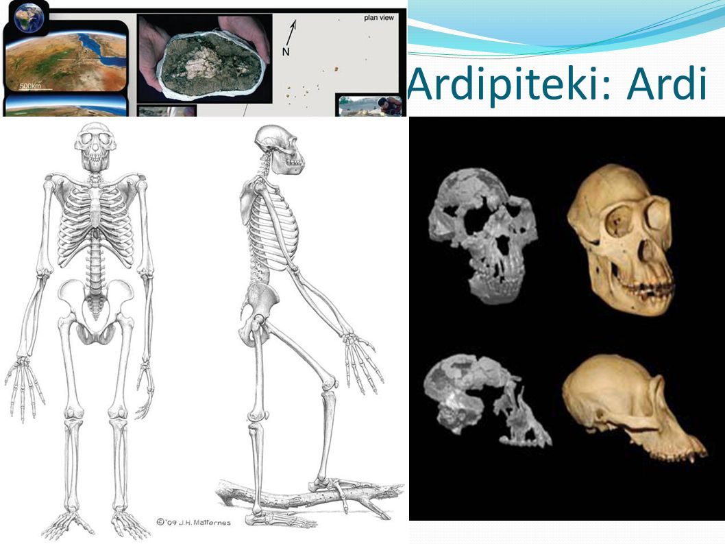 Ardipiteki: Ardi Kompletny szkielet k. Aramis, dol. Awash, reg. Afar, Etiopia. 120cm, 50 kg, zamieszkiwała środowisko leśne: