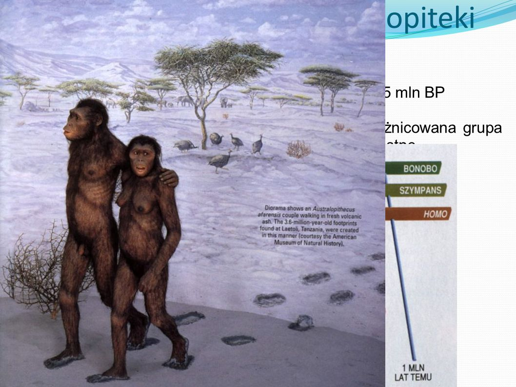 Australopiteki Od 4 do 1,5 mln BP Bardzo zróżnicowana grupa - robustne