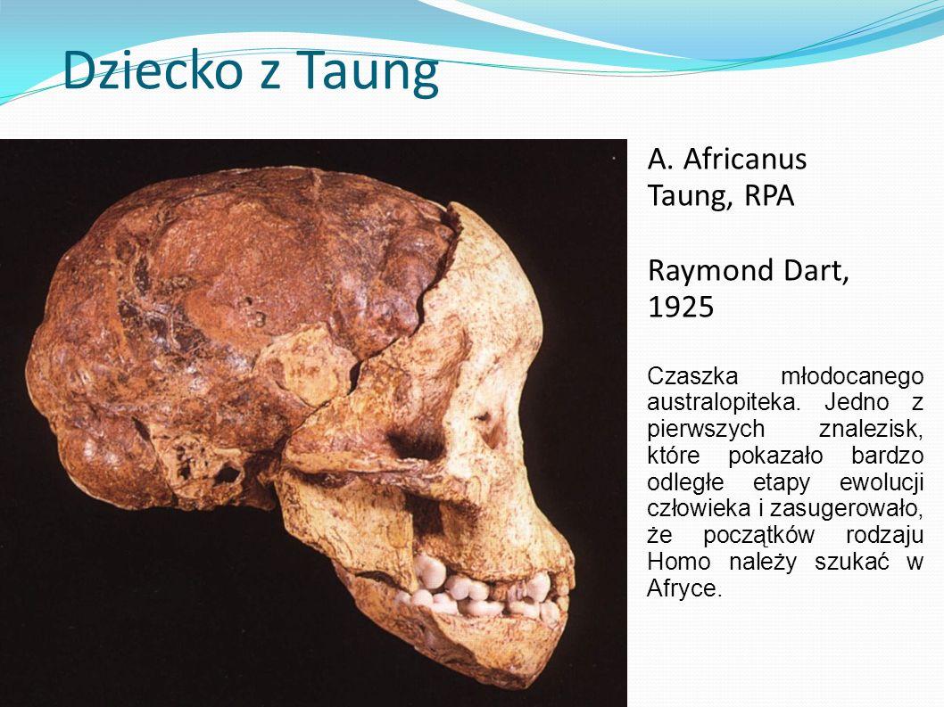 Dziecko z Taung A. Africanus Taung, RPA Raymond Dart, 1925