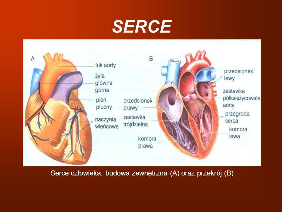 Serce człowieka: budowa zewnętrzna (A) oraz przekrój (B)