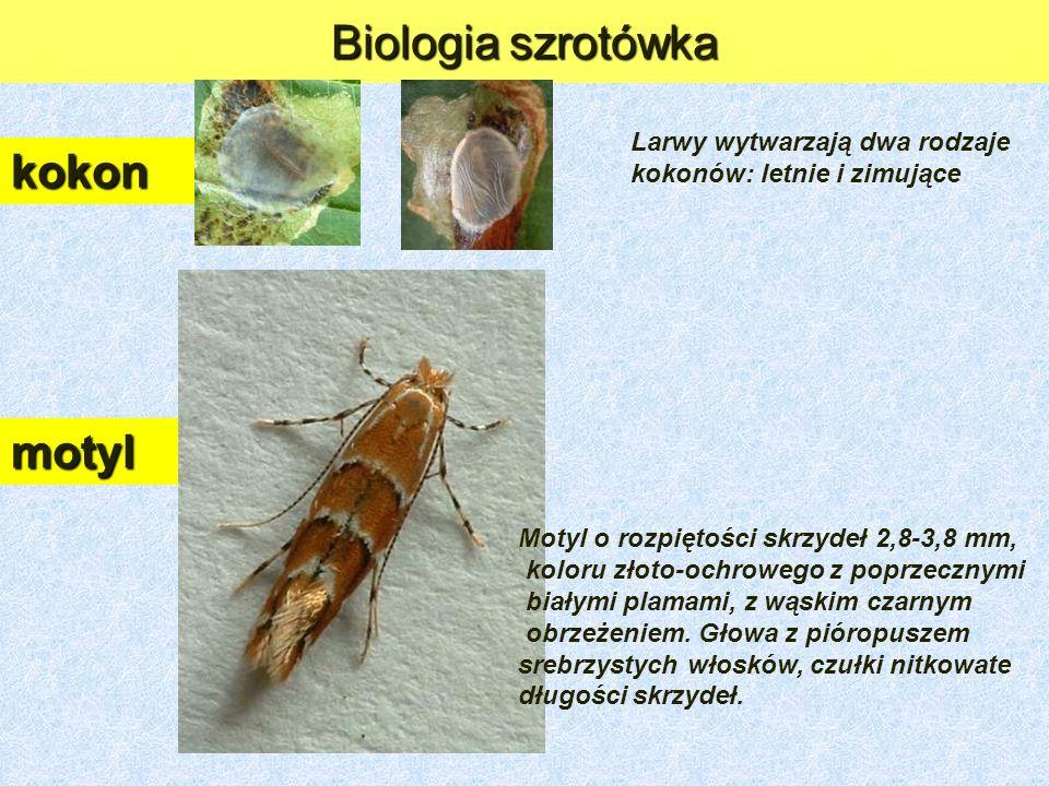 Biologia szrotówka kokon motyl