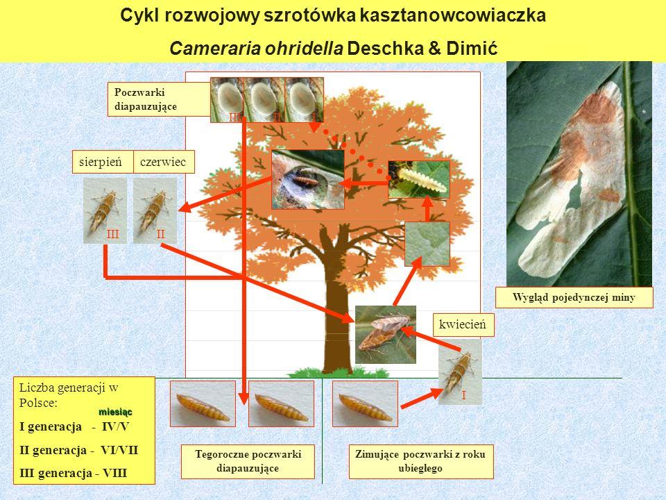 Cykl rozwojowy szrotówka kasztanowcowiaczka