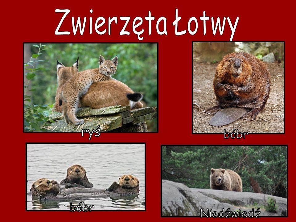 Zwierzęta Łotwy ryś bóbr bóbr Niedźwiedź