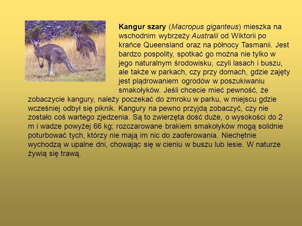 Kangur szary (Macropus giganteus) mieszka na