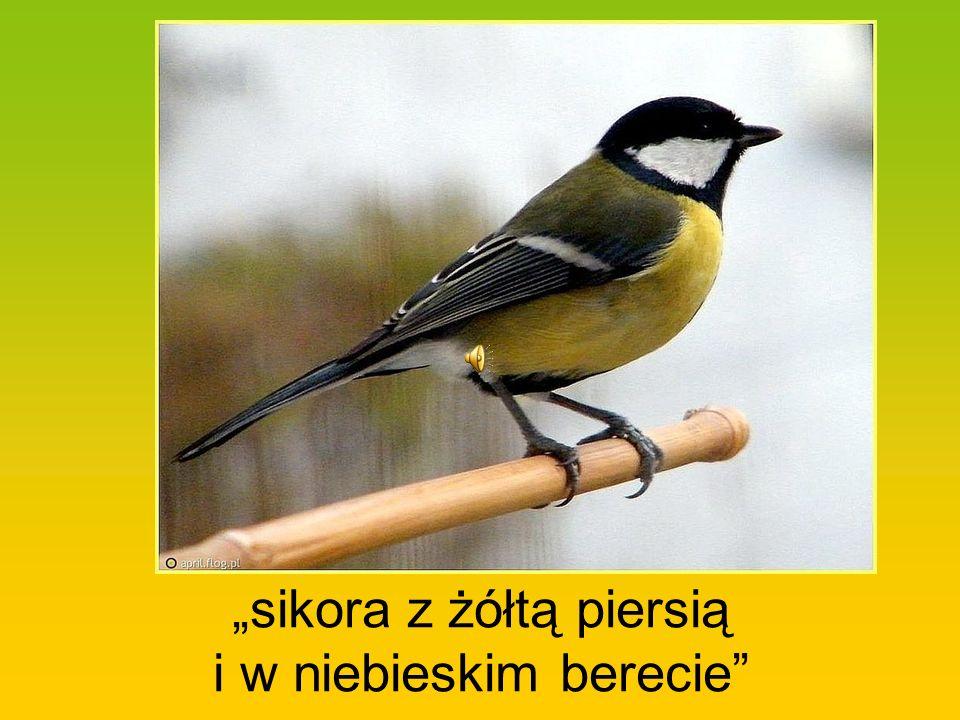 """""""sikora z żółtą piersią i w niebieskim berecie"""