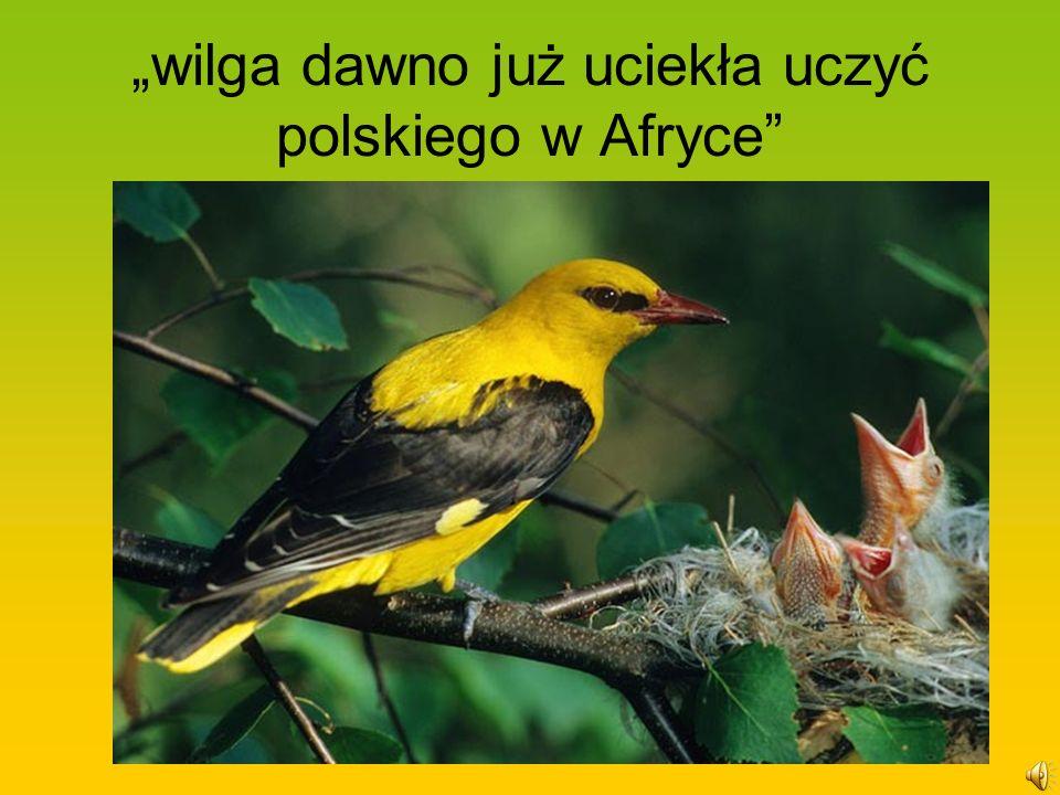 """""""wilga dawno już uciekła uczyć polskiego w Afryce"""