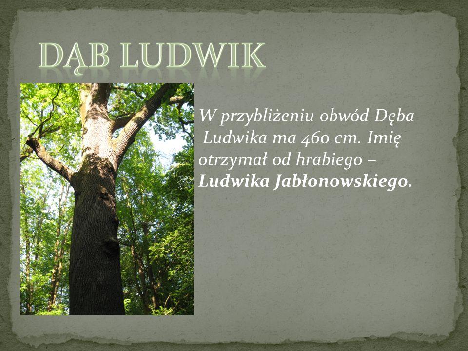 Dąb Ludwik W przybliżeniu obwód Dęba Ludwika ma 460 cm. Imię