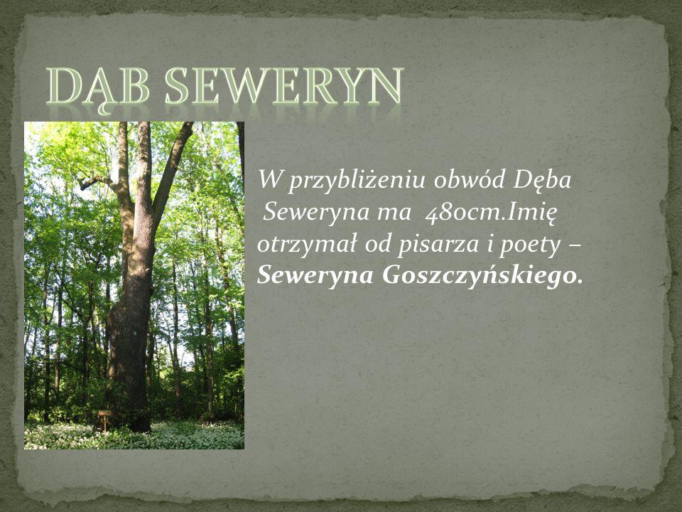 Dąb Seweryn W przybliżeniu obwód Dęba Seweryna ma 480cm.Imię