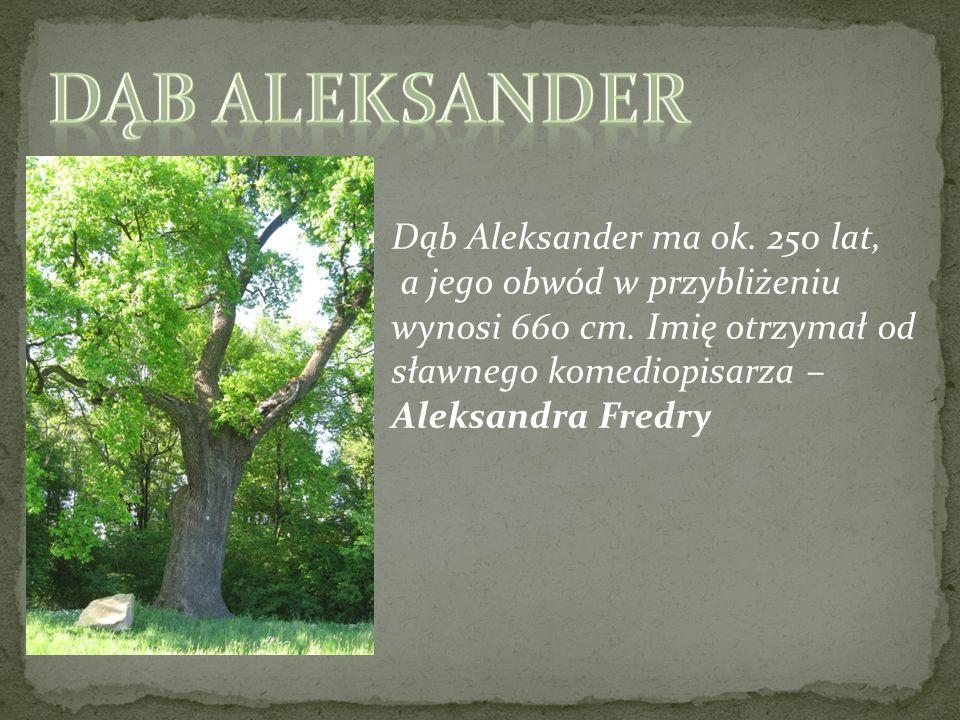 Dąb Aleksander Dąb Aleksander ma ok. 250 lat,