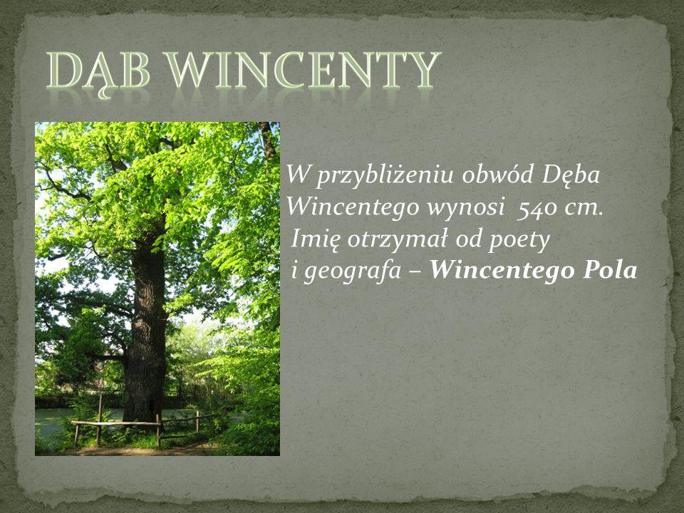 Dąb WINCENTY W przybliżeniu obwód Dęba Wincentego wynosi 540 cm.