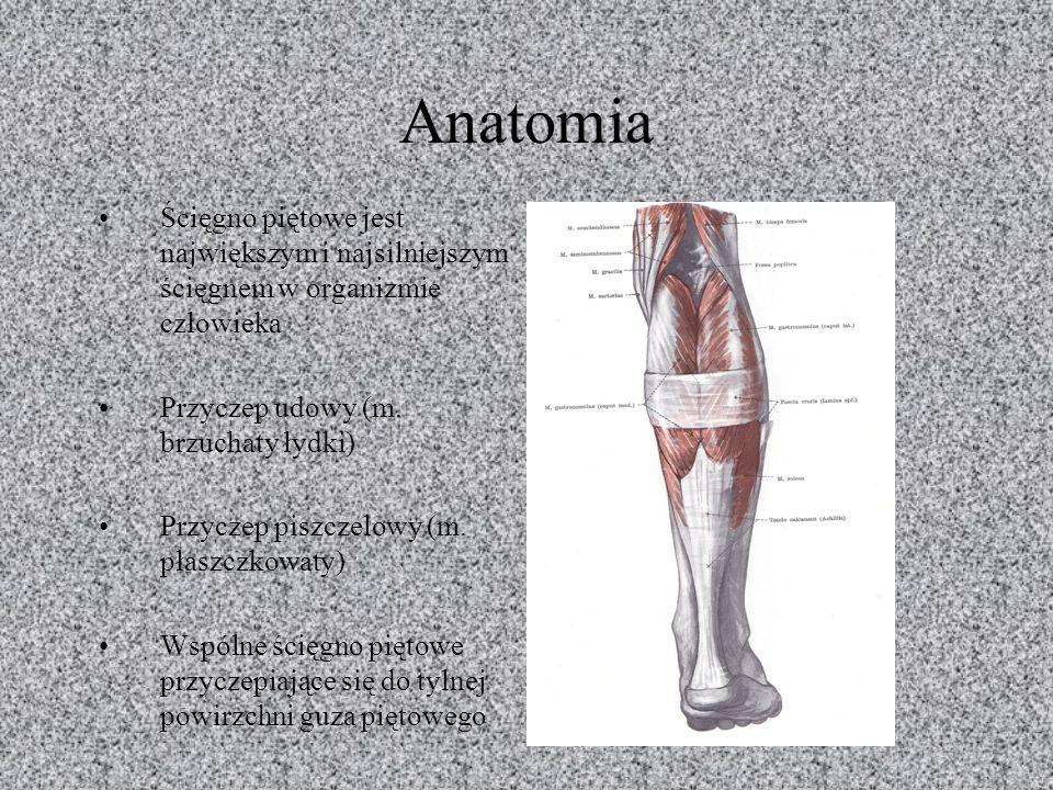 Anatomia Ścięgno piętowe jest największym i najsilniejszym ścięgnem w organizmie człowieka. Przyczep udowy (m. brzuchaty łydki)