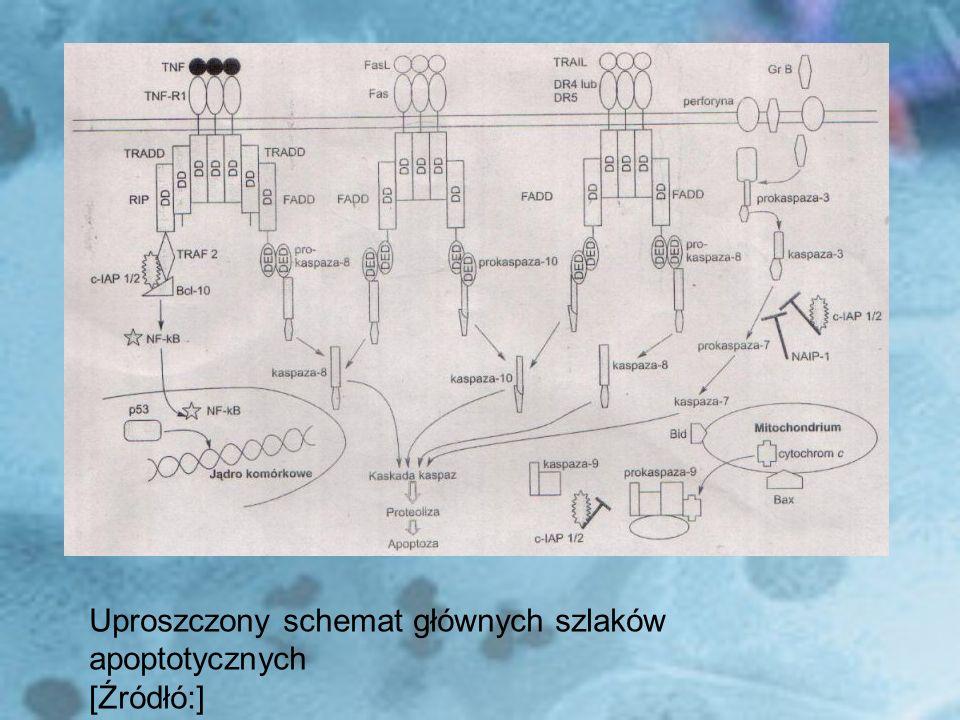 Uproszczony schemat głównych szlaków apoptotycznych