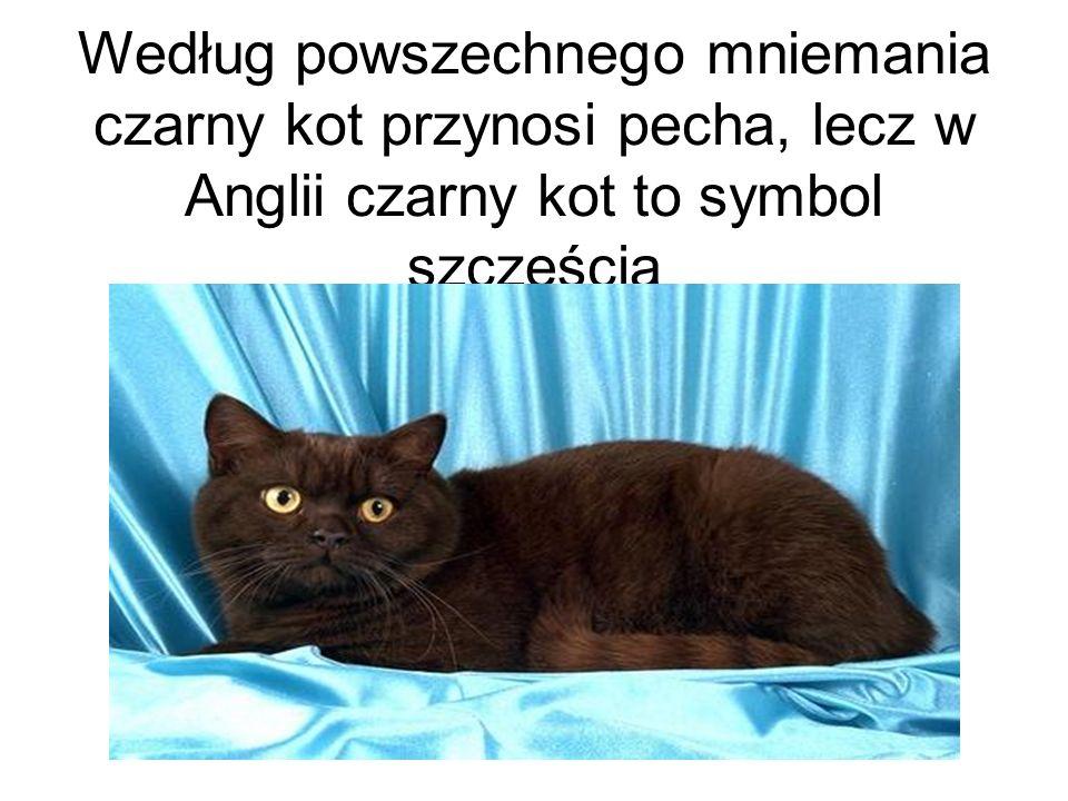 Według powszechnego mniemania czarny kot przynosi pecha, lecz w Anglii czarny kot to symbol szczęścia