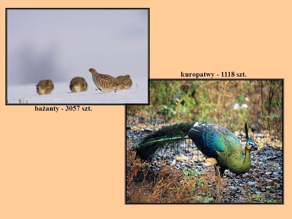 kuropatwy - 1118 szt. bażanty - 3057 szt.