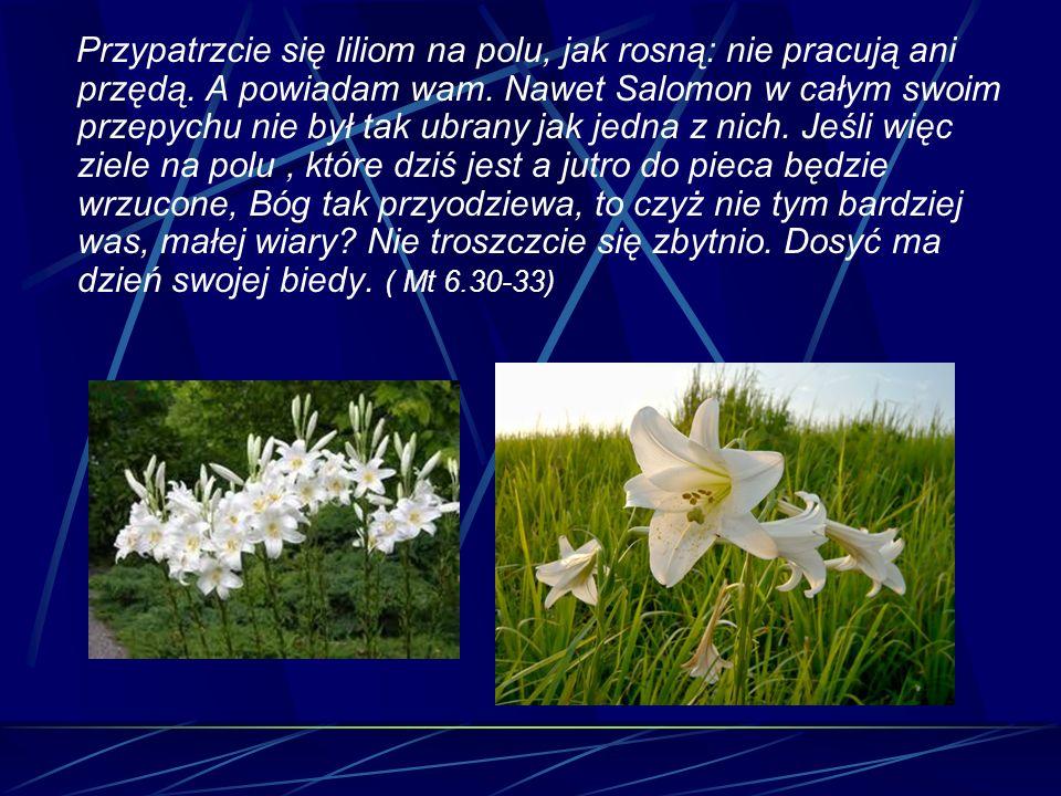 Przypatrzcie się liliom na polu, jak rosną: nie pracują ani przędą