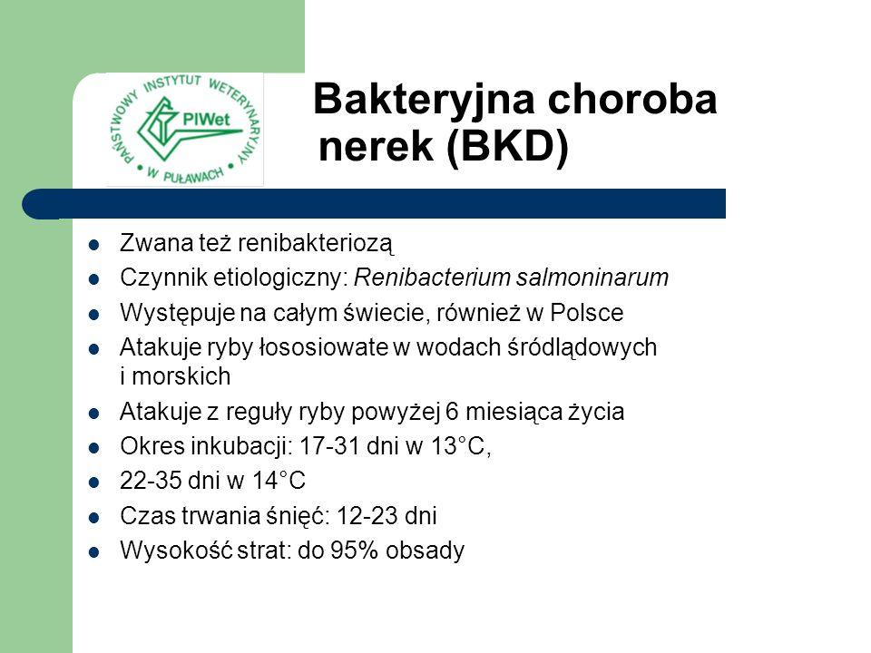 Bakteryjna choroba nerek (BKD)