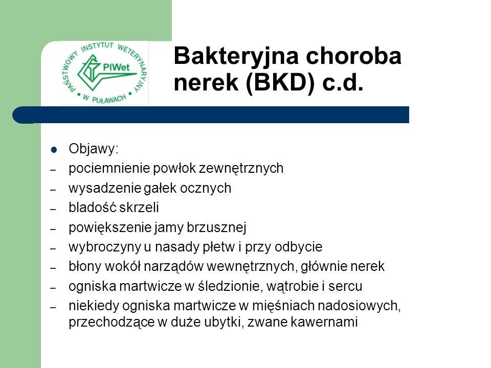 Bakteryjna choroba nerek (BKD) c.d.
