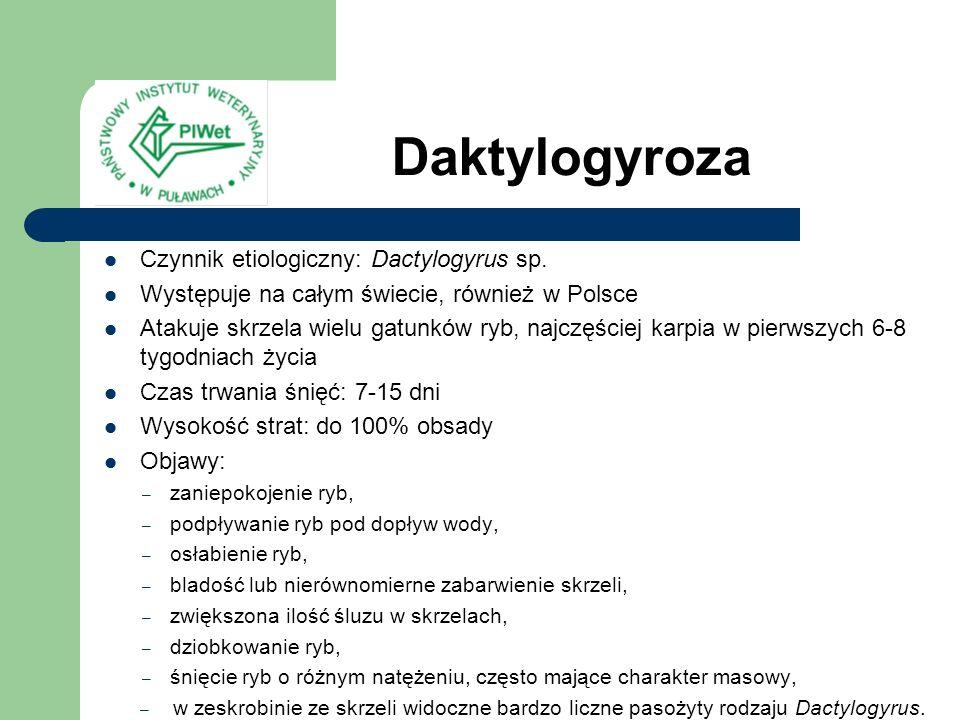 Daktylogyroza Czynnik etiologiczny: Dactylogyrus sp.