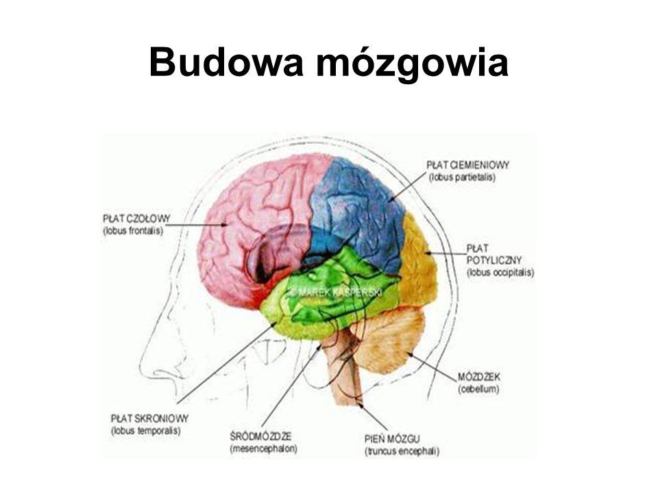 Budowa mózgowia