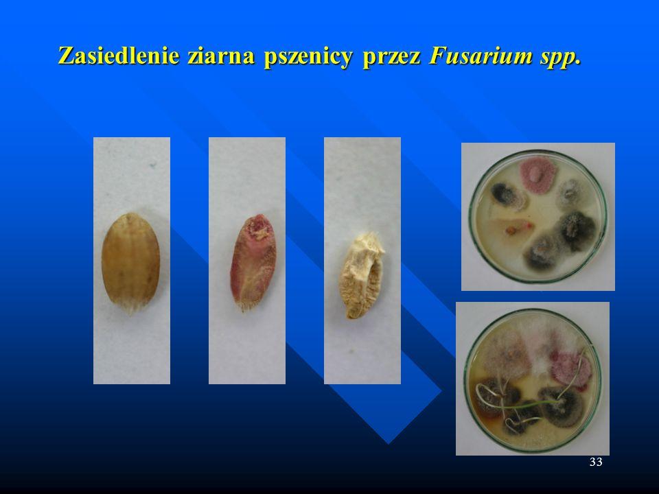 Zasiedlenie ziarna pszenicy przez Fusarium spp.