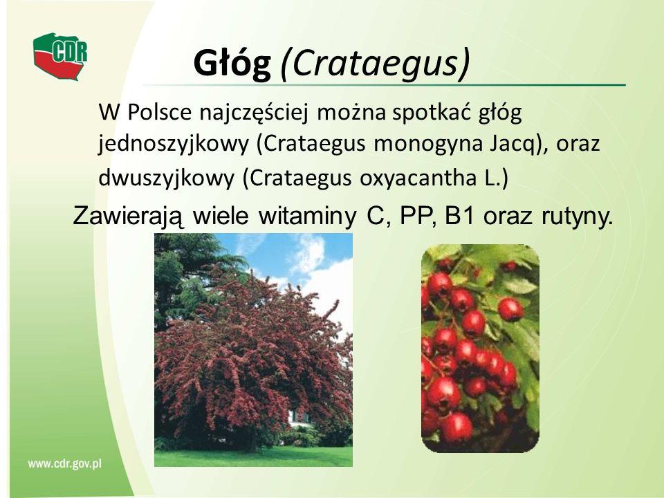Głóg (Crataegus) W Polsce najczęściej można spotkać głóg jednoszyjkowy (Crataegus monogyna Jacq), oraz dwuszyjkowy (Crataegus oxyacantha L.)