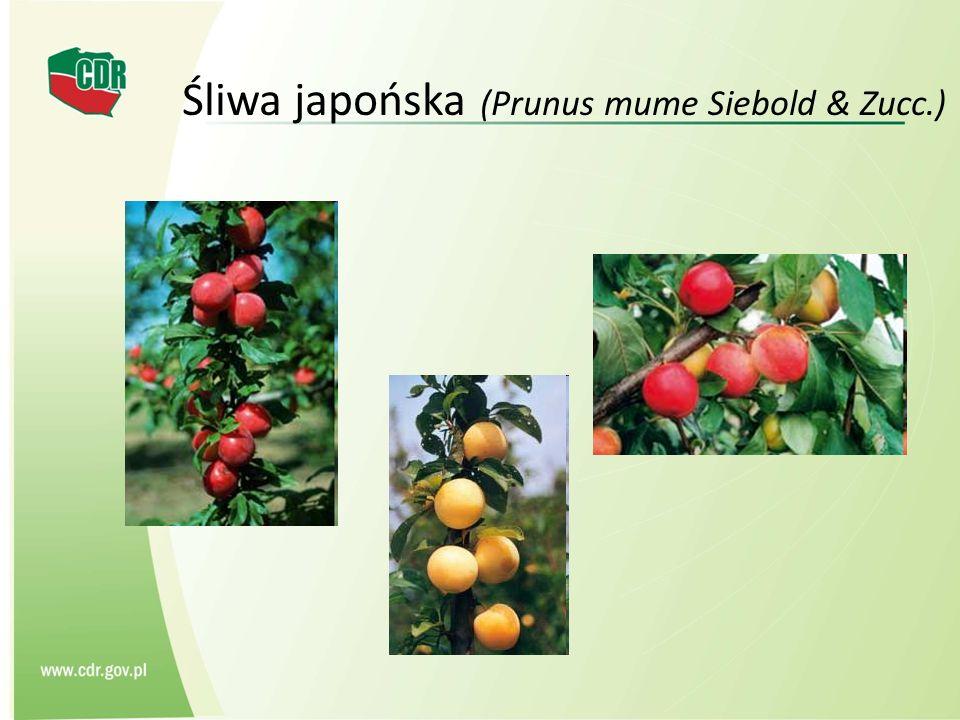 Śliwa japońska (Prunus mume Siebold & Zucc.)