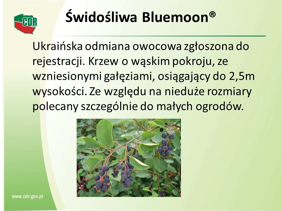Świdośliwa Bluemoon®