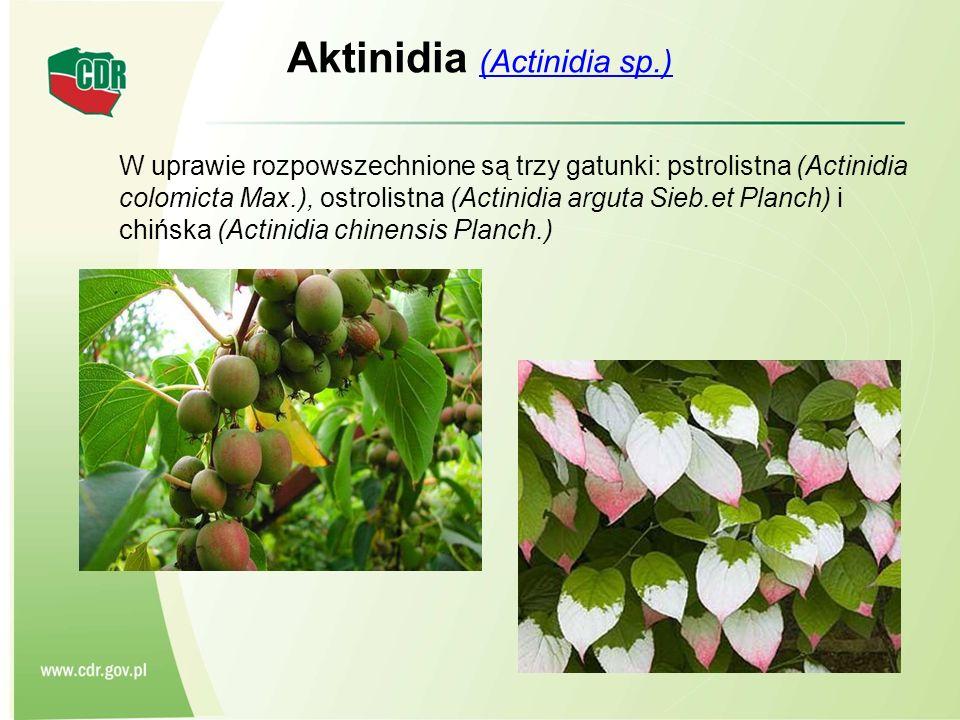 Aktinidia (Actinidia sp.)
