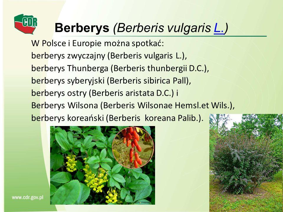Berberys (Berberis vulgaris L.)
