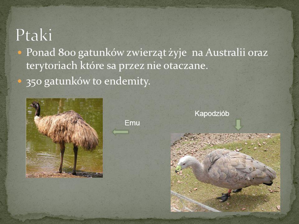 Ptaki Ponad 800 gatunków zwierząt żyje na Australii oraz terytoriach które sa przez nie otaczane.