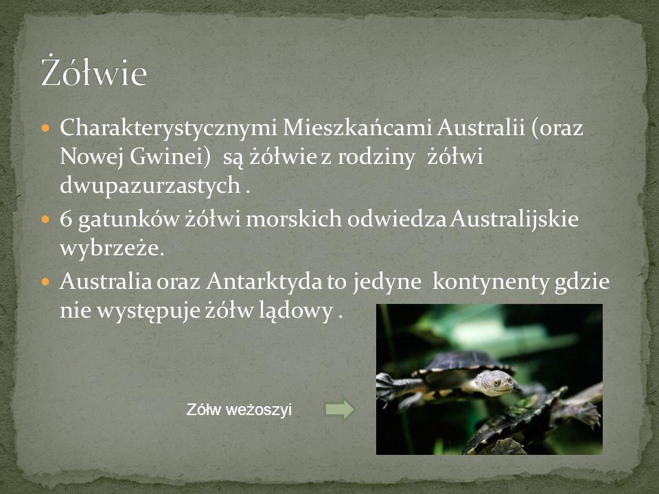 Żółwie Charakterystycznymi Mieszkańcami Australii (oraz Nowej Gwinei) są żółwie z rodziny żółwi dwupazurzastych .