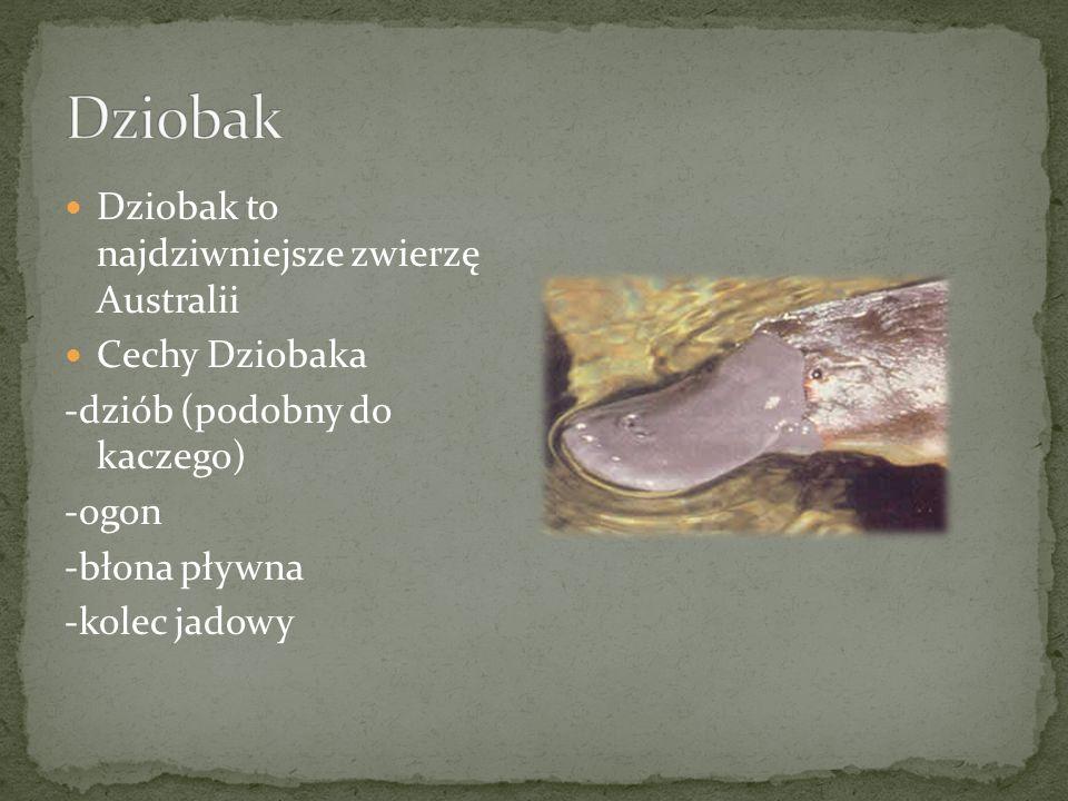 Dziobak Dziobak to najdziwniejsze zwierzę Australii Cechy Dziobaka