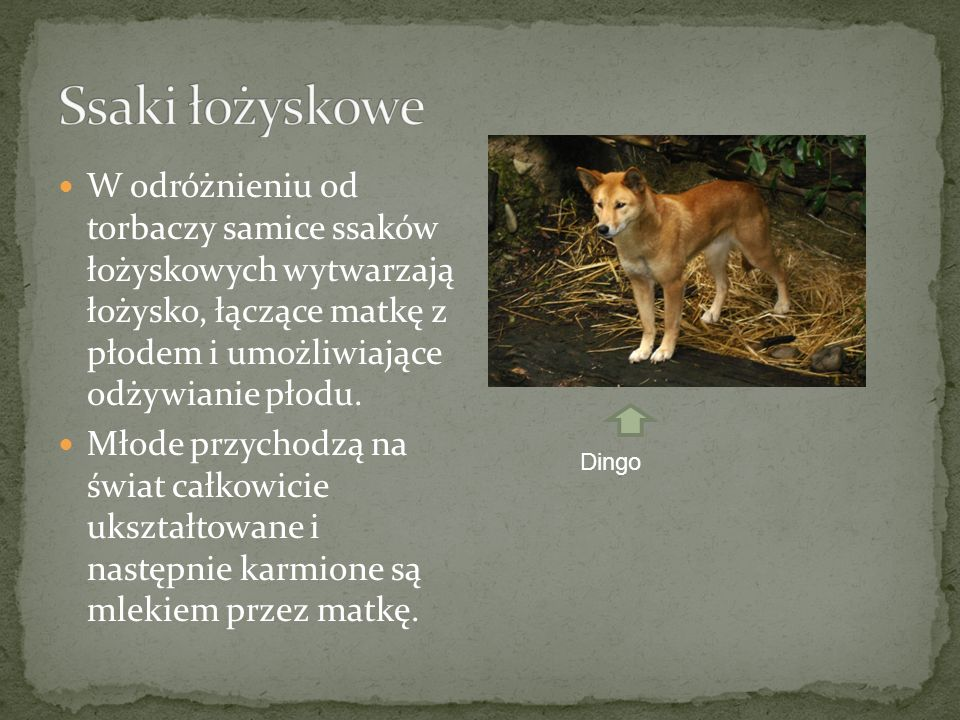 Ssaki łożyskowe W odróżnieniu od torbaczy samice ssaków łożyskowych wytwarzają łożysko, łączące matkę z płodem i umożliwiające odżywianie płodu.