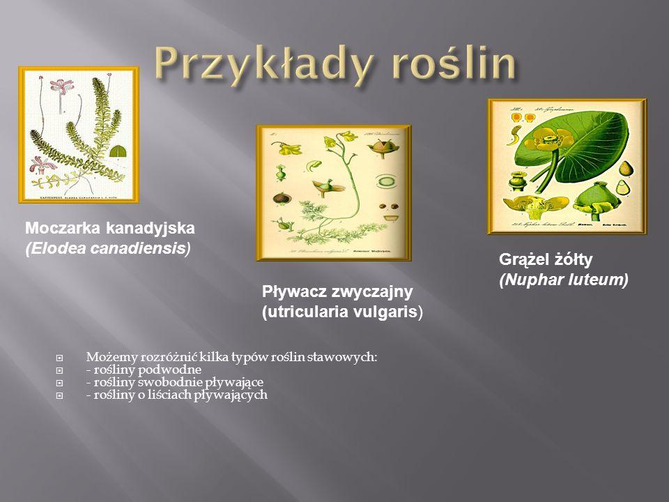 Przykłady roślin Moczarka kanadyjska (Elodea canadiensis) Grążel żółty