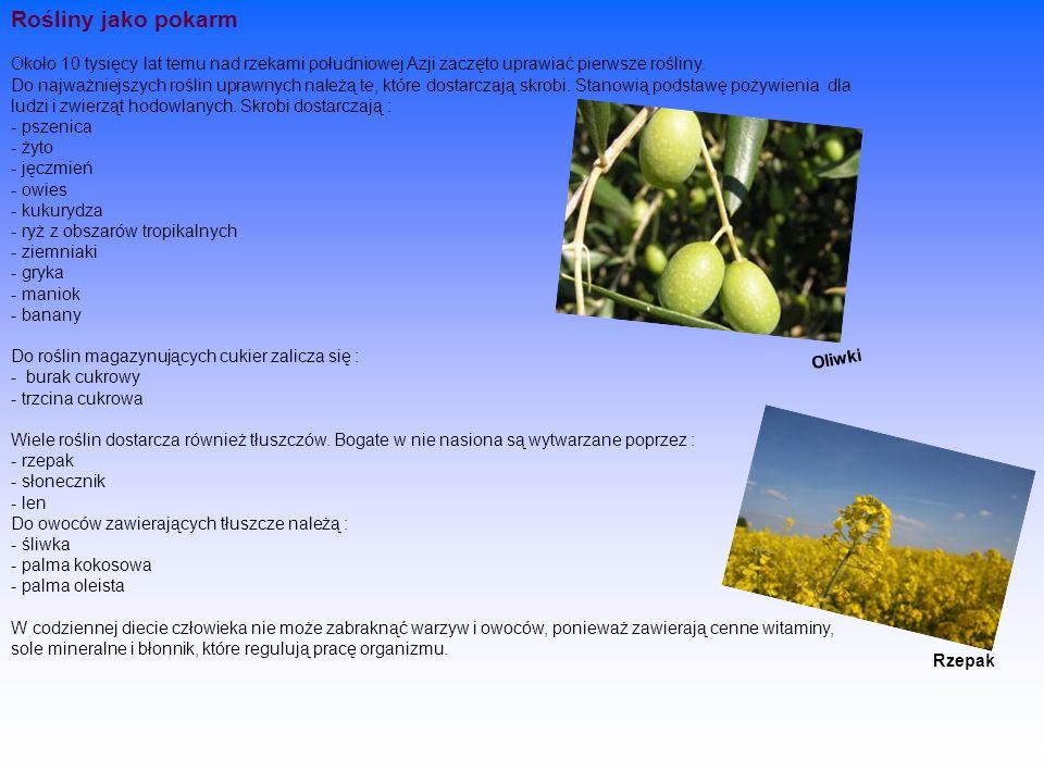 Rośliny jako pokarm Około 10 tysięcy lat temu nad rzekami południowej Azji zaczęto uprawiać pierwsze rośliny. Do najważniejszych roślin uprawnych należą te, które dostarczają skrobi. Stanowią podstawę pożywienia dla ludzi i zwierząt hodowlanych. Skrobi dostarczają : - pszenica - żyto - jęczmień - owies - kukurydza - ryż z obszarów tropikalnych - ziemniaki - gryka - maniok - banany Do roślin magazynujących cukier zalicza się : - burak cukrowy - trzcina cukrowa Wiele roślin dostarcza również tłuszczów. Bogate w nie nasiona są wytwarzane poprzez : - rzepak - słonecznik - len Do owoców zawierających tłuszcze należą : - śliwka - palma kokosowa - palma oleista W codziennej diecie człowieka nie może zabraknąć warzyw i owoców, ponieważ zawierają cenne witaminy, sole mineralne i błonnik, które regulują pracę organizmu.