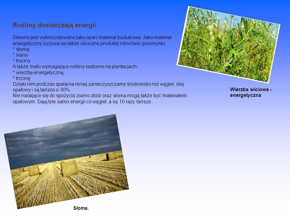 Rośliny dostarczają energii Drewno jest wykorzystywane jako opał i materiał budulcowy. Jako materiał energetyczny zużywa się także uboczne produkty rolnictwa i przemysłu : * słomę * siano * trociny A także mało wymagające rośliny sadzone na plantacjach : * wierzbę energetyczną * trzcinę Dzięki nim podczas spalania mniej zanieczyszczamy środowisko niż węgiel, olej opałowy i są tańsze o 30%. Nie nadające się do spożycia ziarno zbóż oraz słoma mogą także być materiałem opałowym. Dają tyle samo energii co węgiel, a są 10 razy tańsze.
