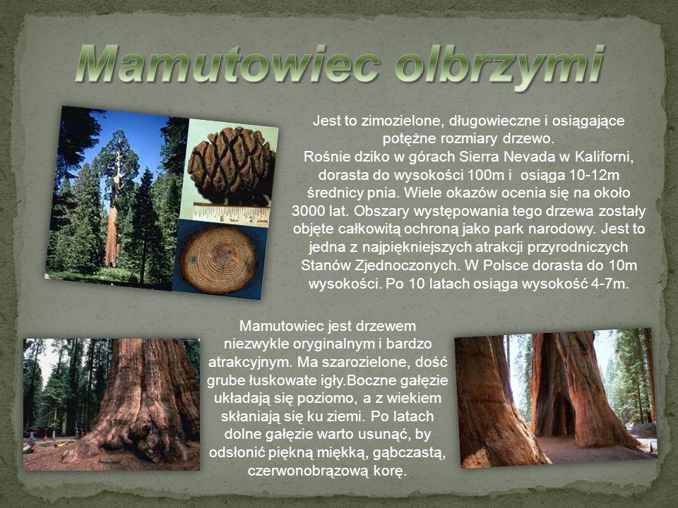 Mamutowiec olbrzymi Jest to zimozielone, długowieczne i osiągające potężne rozmiary drzewo.
