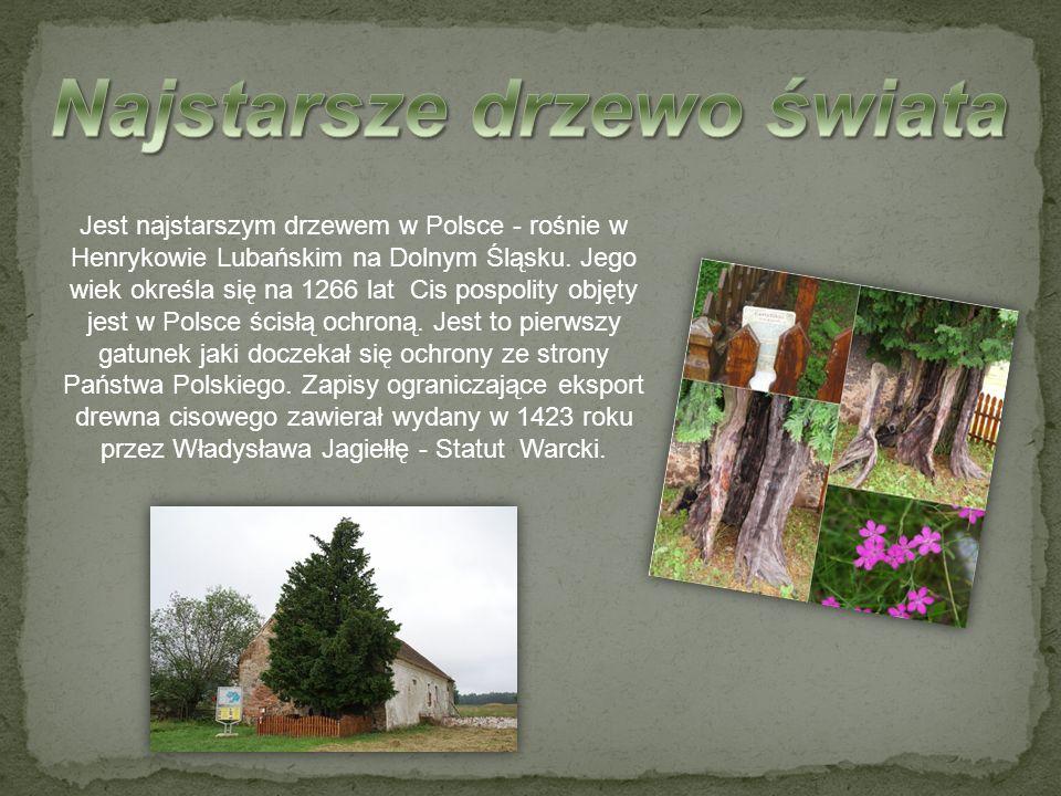 Najstarsze drzewo świata