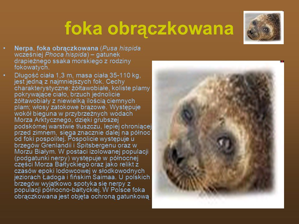 foka obrączkowanaNerpa, foka obrączkowana (Pusa hispida wcześniej Phoca hispida) – gatunek drapieżnego ssaka morskiego z rodziny fokowatych.