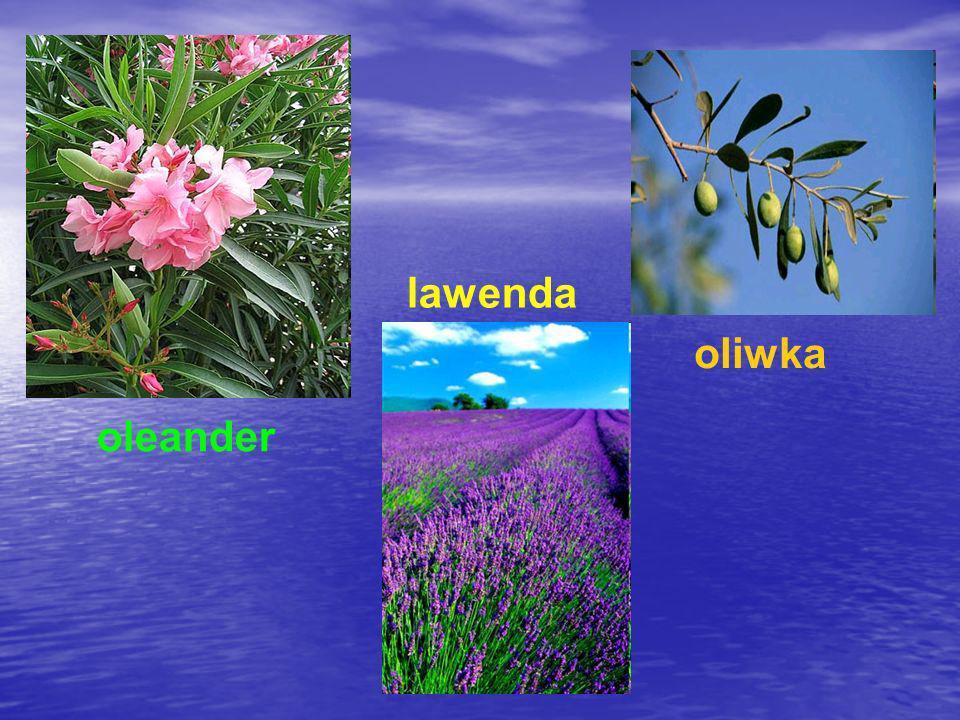 lawenda oliwka oleander